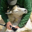 Picture of Sheep Shears Electric Clippers Shearing Farm Goat Alpaca Livestock Wool Carding | Free Delivery